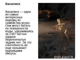 Василиск Василиск — одна из самых интересных ящериц из семейства игуан. Они могу