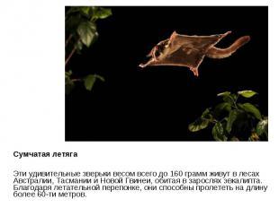 Сумчатая летяга Эти удивительные зверьки весом всего до 160 грамм живут в лесах