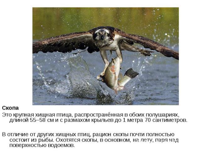 Скопа Это крупная хищная птица, распространённая в обоих полушариях, длиной 55–58 см и с размахом крыльев до 1 метра 70 сантиметров. В отличие от других хищных птиц, рацион скопы почти полностью состоит из рыбы. Охотятся скопы, в основном, на лету, …