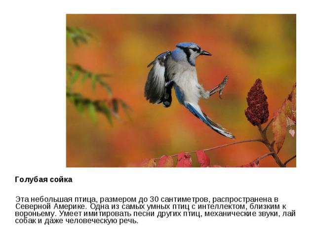 Голубая сойка Эта небольшая птица, размером до 30 сантиметров, распространена в Северной Америке. Одна из самых умных птиц с интеллектом, близким к вороньему. Умеет имитировать песни других птиц, механические звуки, лай собак и даже человеческую речь.