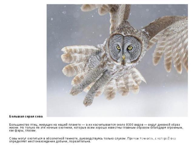 Большая серая сова Большинство птиц, живущих на нашей планете — а их насчитывается около 8300 видов — ведут дневной образ жизни. Но только не эти ночные охотники, которые всем хорошо известны главным образом благодаря огромным, как фары, глазам. Сов…