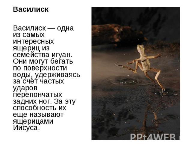 Василиск Василиск — одна из самых интересных ящериц из семейства игуан. Они могут бегать по поверхности воды, удерживаясь за счёт частых ударов перепончатых задних ног. За эту способность их еще называют ящерицами Иисуса.