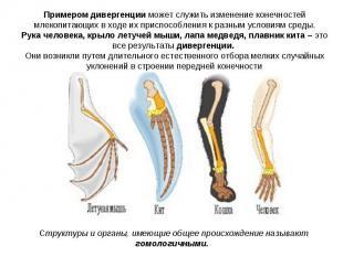 Примером дивергенции может служить изменение конечностей млекопитающих в ходе их