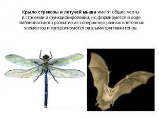 Крыло стрекозы и летучей мыши имеют общие черты в строении и функционировании, н
