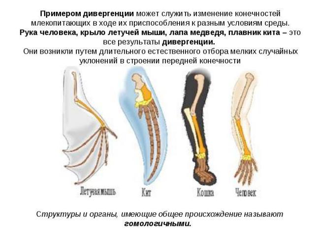Примером дивергенции может служить изменение конечностей млекопитающих в ходе их приспособления к разным условиям среды. Рука человека, крыло летучей мыши, лапа медведя, плавник кита – это все результаты дивергенции. Они возникли путем длительного е…