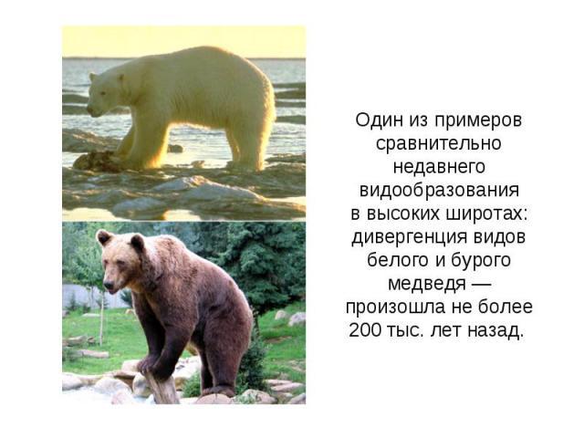 Один из примеров сравнительно недавнего видообразования ввысоких широтах: дивергенция видов белого и бурого медведя— произошла не более 200тыс. лет назад.
