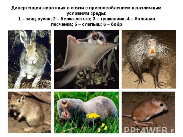 Дивергенция животных в связи с приспособлением к различным условиям среды: 1 – заяц-русак; 2 – белка-летяга; 3 – тушканчик; 4 – большая песчанка; 5 – слепыш; 6 – бобр