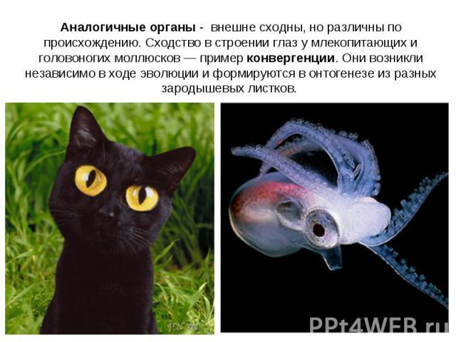 Аналогичные органы - внешне сходны, но различны по происхождению. Сходство в строении глаз у млекопитающих и головоногих моллюсков — пример конвергенции. Они возникли независимо в ходе эволюции и формируются в онтогенезе из разных зародышевых листков.