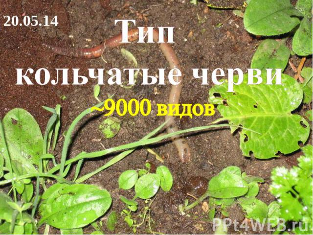 Тип кольчатые черви ~9000 видов