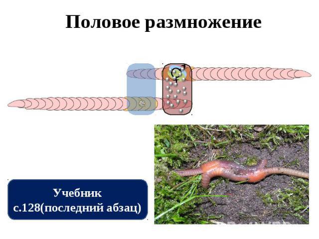 Половое размножение Учебник с.128(последний абзац)