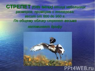 СТРЕПЕТ (Otis tetrax) птица небольших размеров, примерно с тетерева: весит от 60