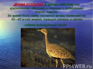 ДРОФА ХОХЛАТАЯ (Lophotis ruficrista) или краснохохлая, обитает в саваннах и редк