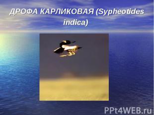 ДРОФА КАРЛИКОВАЯ (Sypheotides indica)