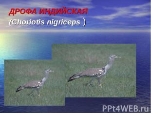 ДРОФА ИНДИЙСКАЯ (Choriotis nigriceps )