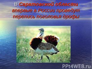 В Саратовской области впервые в России проведут перепись поголовья дрофы