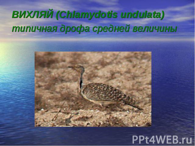 ВИХЛЯЙ (Chlamydotis undulata) типичная дрофа средней величины