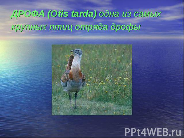 ДРОФА (Otis tarda) одна из самых крупных птиц отряда дрофы