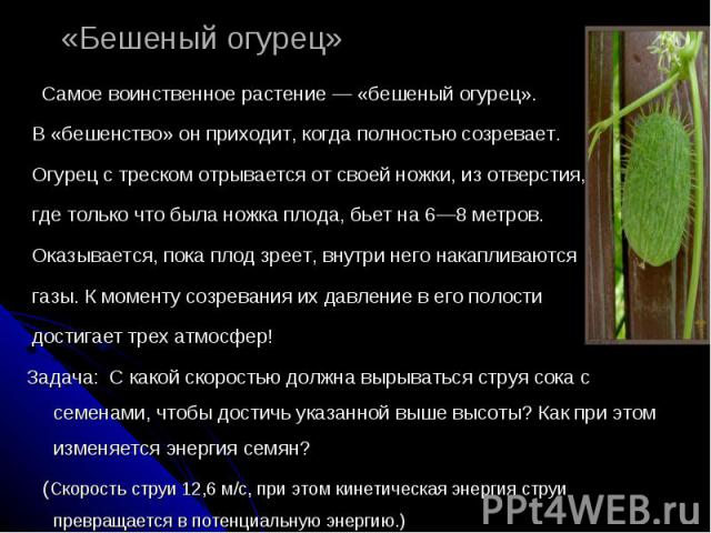 «Бешеный огурец» Самое воинственное растение — «бешеный огурец». В «бешенство» он приходит, когда полностью созревает. Огурец с треском отрывается от своей ножки, из отверстия, где только что была ножка плода, бьет на 6—8 метров. Оказывается, пока п…