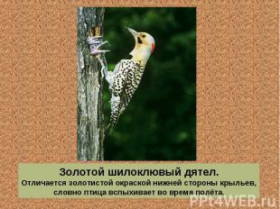 Золотой шилоклювый дятел. Отличается золотистой окраской нижней стороны крыльев,