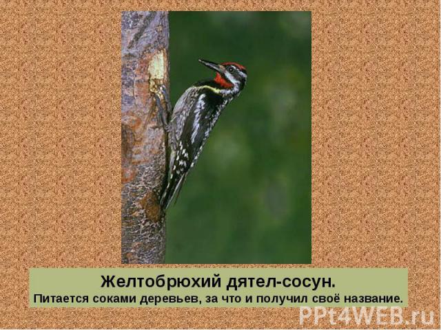 Желтобрюхий дятел-сосун. Питается соками деревьев, за что и получил своё название.