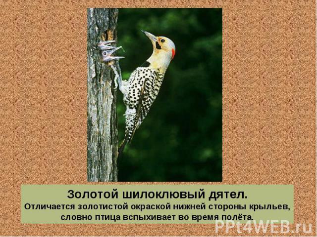Золотой шилоклювый дятел. Отличается золотистой окраской нижней стороны крыльев, словно птица вспыхивает во время полёта.