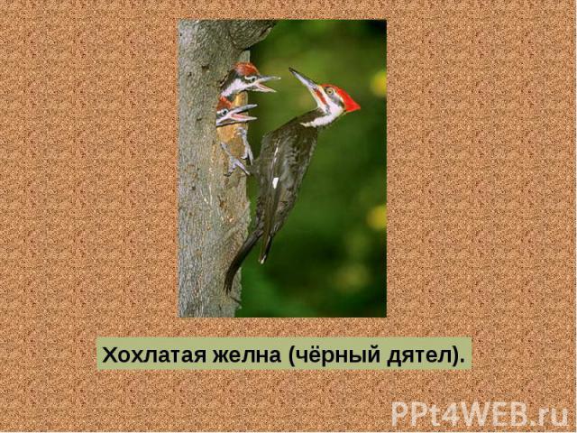 Хохлатая желна (чёрный дятел).