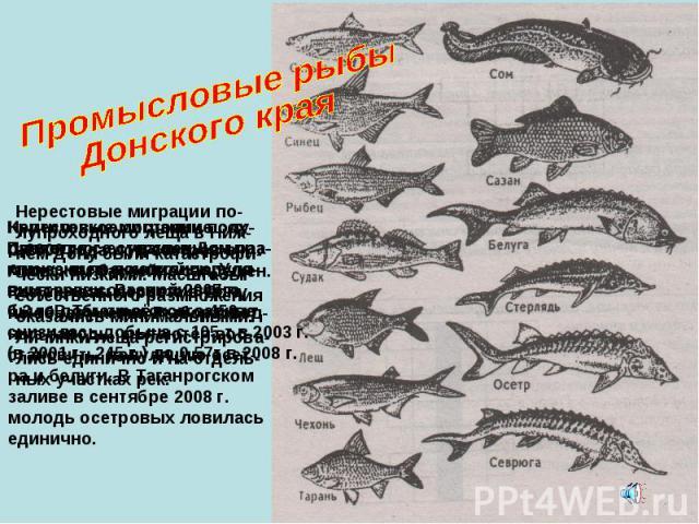 Промысловые рыбы Донского края Нерестовые миграции полу- Проходного судака в Дон пра- ктически прекратились. Уло- вы в реке составили всего 0,3 т. В Таганрогском заливе снизилась добыча с 105 т в 2003 г. (в 2001 г.- 245 т.) до 0,57т в 2008 г. С 2000…