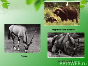 Африканский буйвол Орикс Черный носорог