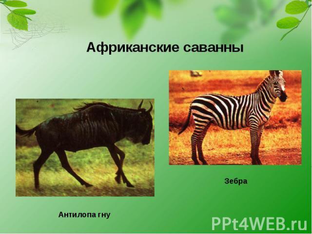 Африканские саванны Антилопа гну Зебра