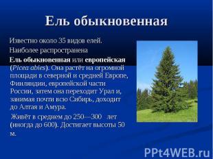 Ель обыкновенная Известно около 35 видов елей. Наиболее распространена Ель обыкн