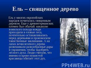 Ель – священное дерево Ель у многих европейских народов почиталась священным дер