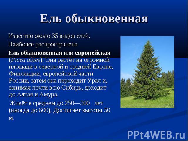 Ель обыкновенная Известно около 35 видов елей. Наиболее распространена Ель обыкновенная или европейская (Picea abies). Она растёт на огромной площади в северной и средней Европе, Финляндии, европейской части России, затем она переходит Урал и, заним…