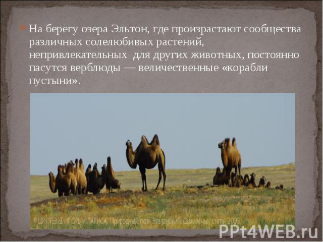 На берегу озера Эльтон, где произрастают сообщества различных солелюбивых растений, непривлекательных для других животных, постоянно пасутся верблюды — величественные «корабли пустыни».