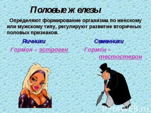 Половые железы Определяют формирование организма по женскому или мужскому типу,
