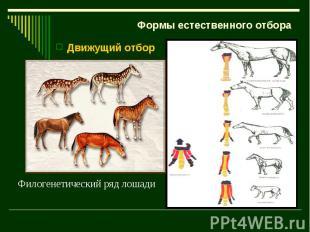 Формы естественного отбора Движущий отбор Филогенетический ряд лошади