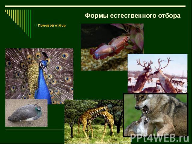 Формы естественного отбора Половой отбор