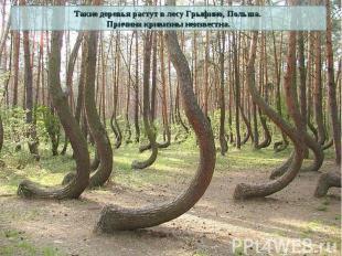 Такие деревья растут в лесу Грыфино, Польша. Причина кривизны неизвестна.