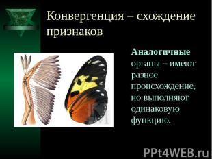 Конвергенция – схождение признаков Аналогичные органы – имеют разное происхожден