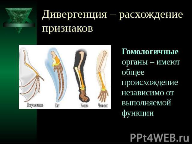 Дивергенция – расхождение признаков Гомологичные органы – имеют общее происхождение независимо от выполняемой функции