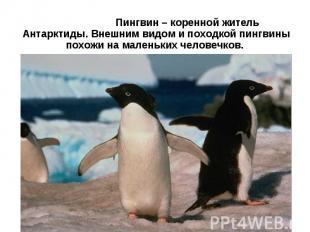Пингвин – коренной житель Антарктиды. Внешним видом и походкой пингвины похожи н