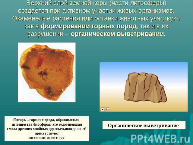 Верхний слой земной коры (части литосферы) создаётся при активном участии живых организмов. Окаменелые растения или останки животных участвуют как в формировании горных пород, так и в их разрушении – органическом выветривании. Янтарь – горная порода…