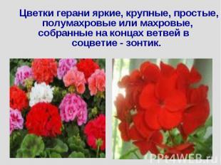 Цветки герани яркие, крупные, простые, полумахровые или махровые, собранные на к