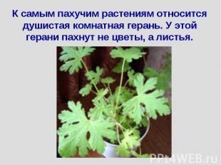К самым пахучим растениям относится душистая комнатная герань. У этой герани пах