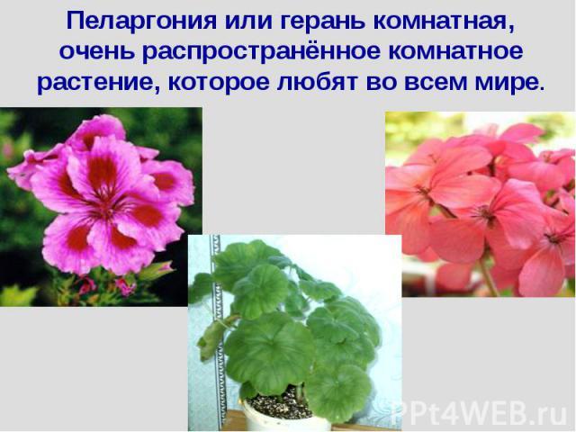 Пеларгония или герань комнатная, очень распространённое комнатное растение, которое любят во всем мире.