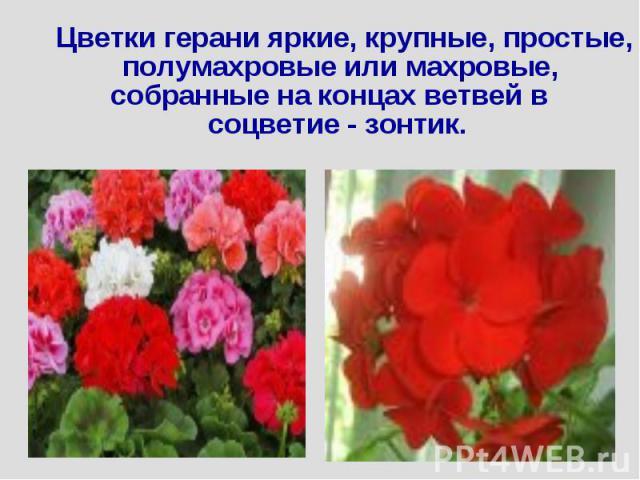 Цветки герани яркие, крупные, простые, полумахровые или махровые, собранные на концах ветвей в соцветие - зонтик.