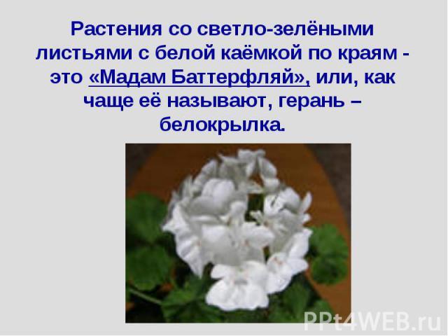Растения со светло-зелёными листьями с белой каёмкой по краям - это «Мадам Баттерфляй», или, как чаще её называют, герань – белокрылка.