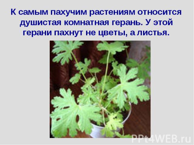 К самым пахучим растениям относится душистая комнатная герань. У этой герани пахнут не цветы, а листья.