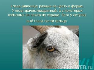 Глаза животных разные по цвету и форме. У козы зрачок квадратный, а у некоторых