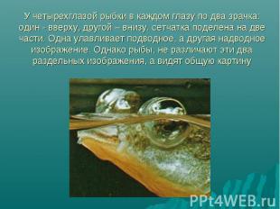 У четырехглазой рыбки в каждом глазу по два зрачка: один - вверху, другой – вниз