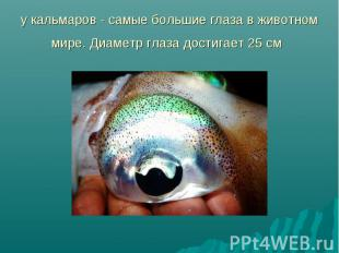 у кальмаров - самые большие глаза в животном мире. Диаметр глаза достигает 25 см